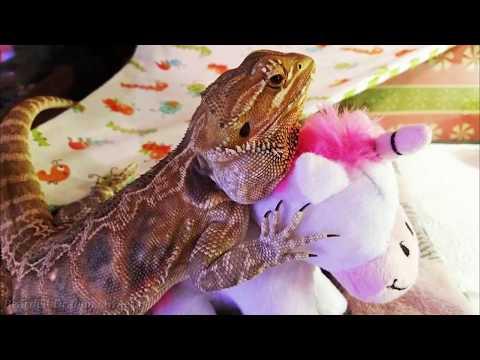 Bearded Dragon Owners // Sedona the Bearded Dragon.