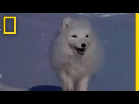 Arctic Fox Raids Polar Bear Kill | National Geographic
