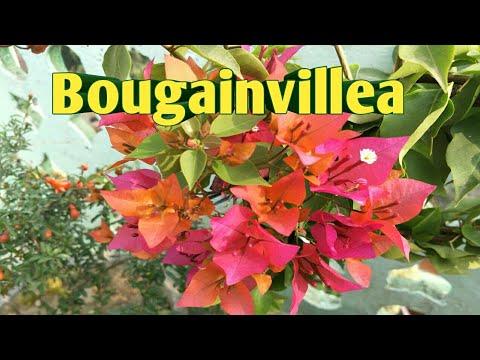 326# How to Grow Bougainvillea in Pot ||  Bougainvillea पर नही आ रहे फूल तो क्या करें