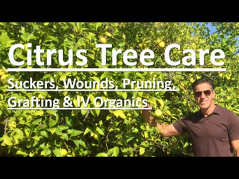 Citrus Tree Care | TOPICS: Suckers, Wounds, Pruning, Grafting & IV Organics