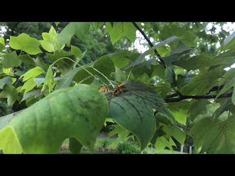 Do You Have Swarms Of Wasps Or Yellow Jackets In Your Tree If So Here's Why
