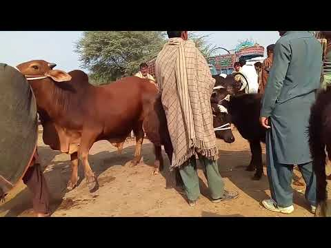 A Short View of Cattle market 85 jhaal Sargodha / Qurbani k Janver Kharedna / Kattay Vachay ke sale