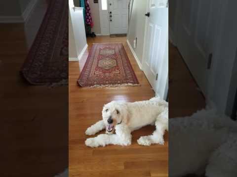 Service Dog finding and retrieving medicine for handler