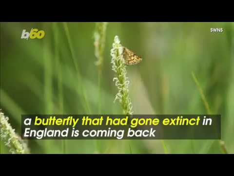 A Butterfly Once Extinct Is Now Making A Comeback
