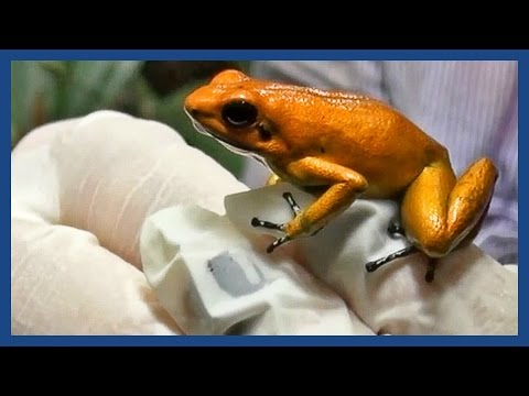 The golden poison frog: 'Like holding a loaded gun' | Guardian Docs