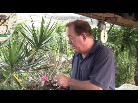 How to Trim Knockout Rose Trees