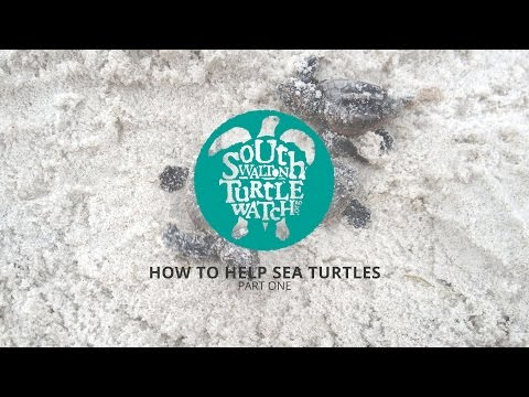 South Walton Turtle Watch :: How to Help Sea Turtles Part One