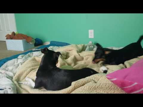 Funny dogs play fighting