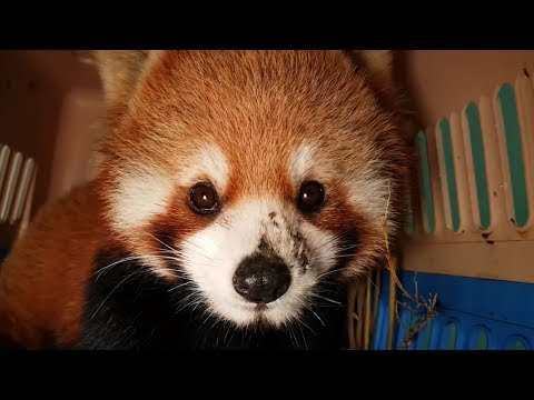 Cute red pandas are easy candidates for exotic pet trade
