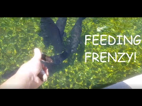 60,000 GAL MONSTER FISH FEEDING!