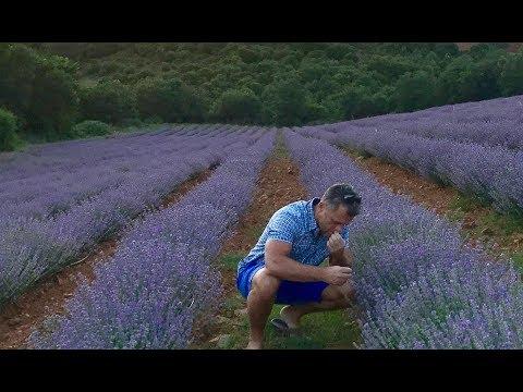 Organic Greek Lavender has arrived!