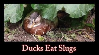 Ducks Eat Slugs
