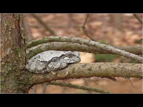Gray Tree Frogs And Friends - 050218