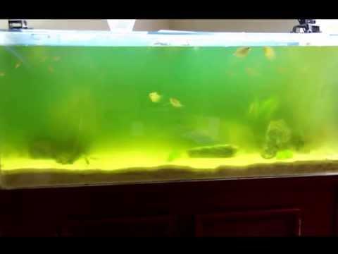 Greenwater in 70gallon Fish Tank