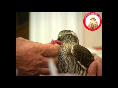 Feeding a newly trapped Sparrow Hawk