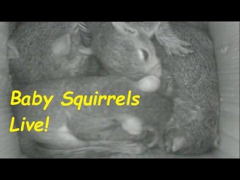 Baby Squirrels in Nest Box!