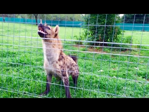 Roxy the hyena