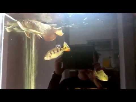 Motoro stingrays and red asian arowana update! New crazy additions!