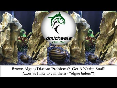 Brown Algae/Diatom Problems? I Give You...The Nerite Snail.