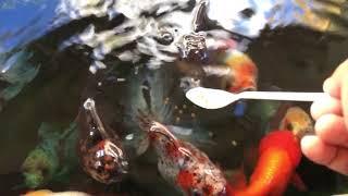 Feeding Fancy Goldfish Pond