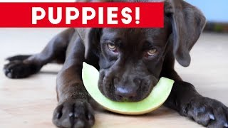 Cutest Puppies Playing Around 2017   Funny Pet Videos