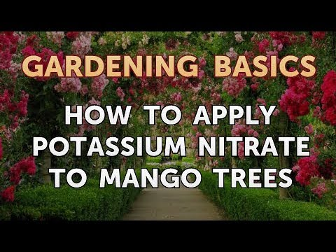 How to Apply Potassium Nitrate to Mango Trees