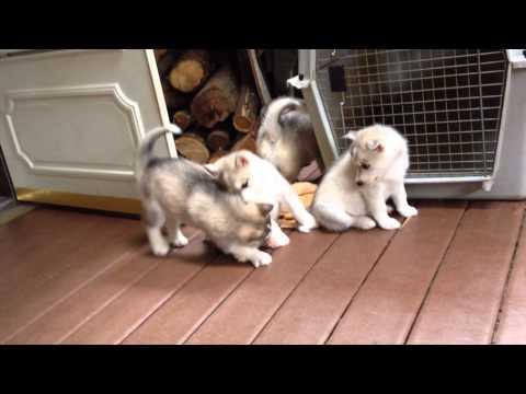 Husky Puppies: A Litter of Love!
