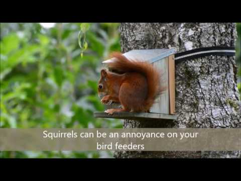 Keep squirrels away from your bird feeder with safflower seed