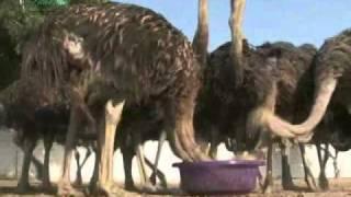About Ostrich in Hindi शुतुरमुर्ग से जुड़ीं 17 अनोखी बातें जानिए