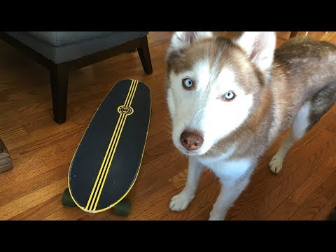 Skateboarding with a Siberian Husky Dog!