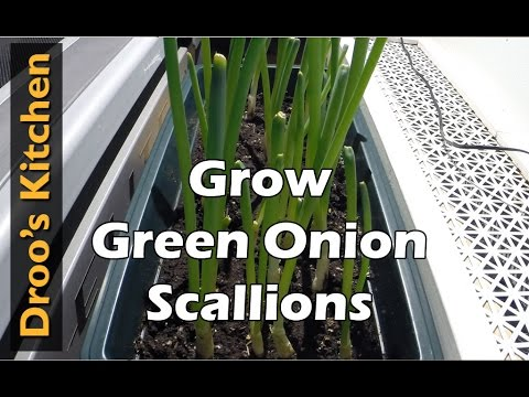 How to Grow Green Onions/Scallions