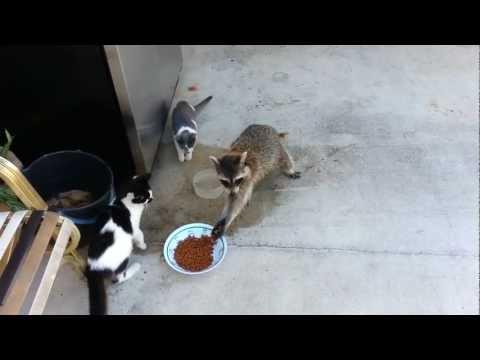 Raccoon Steals Cats' Food (Original)