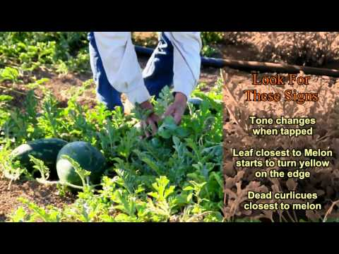 When Is A Watermelon Ready To Harvest    Melons PART II.avi
