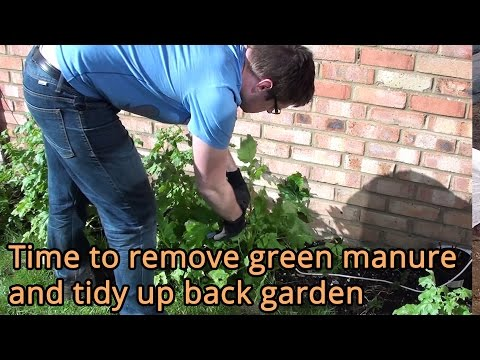 Time to remove green manure and tidy up back garden