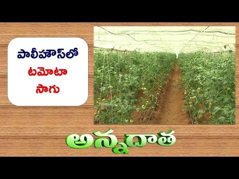Unseason Tomato Cultivation | Practices In Polyhouse || ETV Annadata