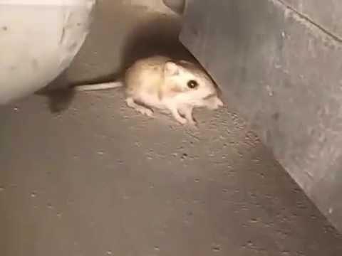 The elusive Kangaroo rat (Real Footage)