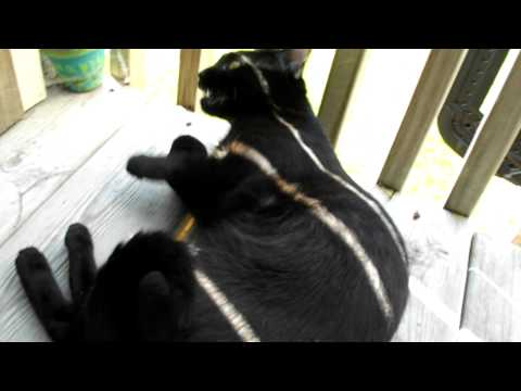 Cat pretending to be pregnant
