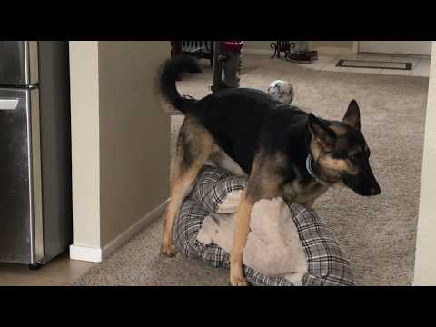 Not suitable for most advertisers - Female German Shepherd having fun with her Pillow