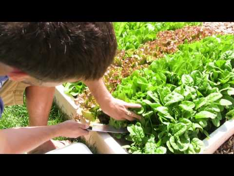 Harvest lettuce All Season With Cut and Come Again Harvesting