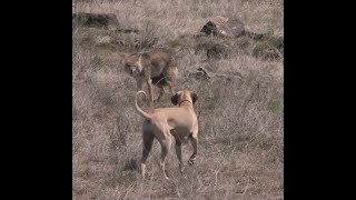 Coyote Hunting -StryCur DECOYS his First Coyote - Coyote Assassins Episode 33