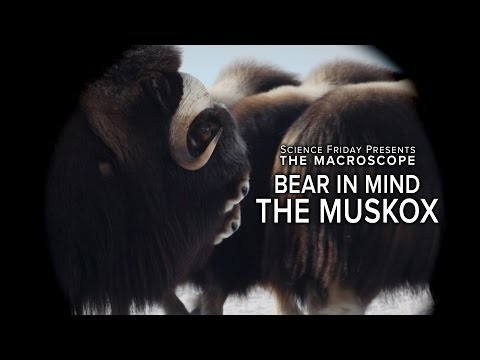 Bear In Mind The Muskox