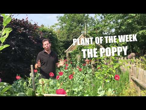 The poppy plant - up close and personal
