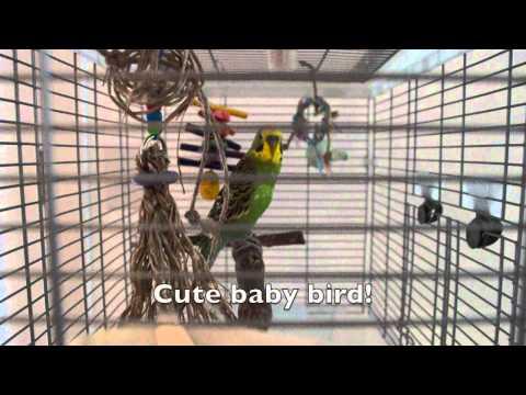 Kiwi the budgie (parakeet) keeps talking!