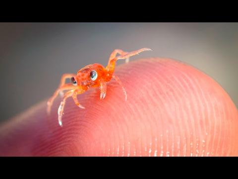 Christmas Island Baby Red Crab Return Dec 2016