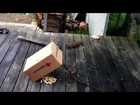 Kids catch squirrel in a box trap. July 2013.