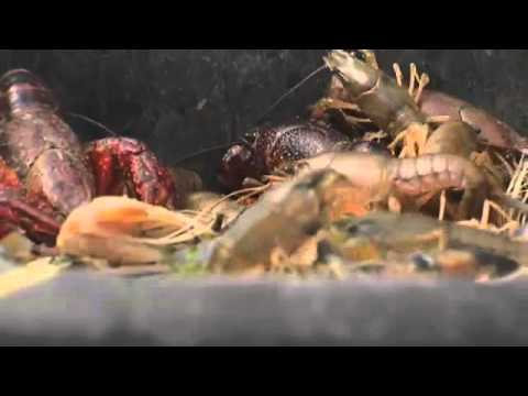 Weather to blame for fewer crawfish this season