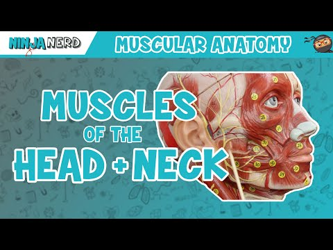 Muscles of the Head & Neck | Anatomy Model