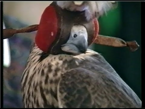 Understanding Falconry (1990, UK)