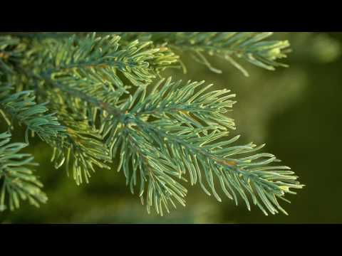 National Tree Nordic Spruce