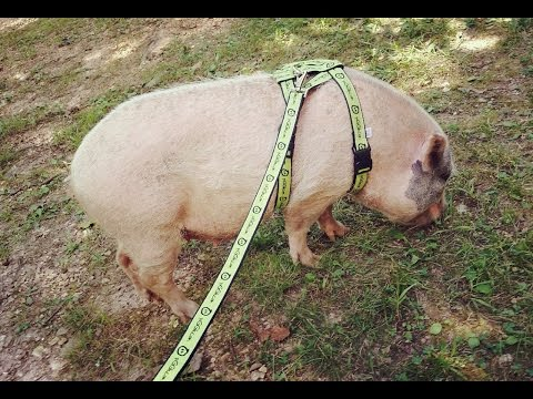 Mini Pig Harness & Leash Training: A Pig Pen Hill Guide